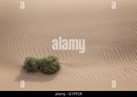 Einsame Busch in der Wüste - Stockfoto