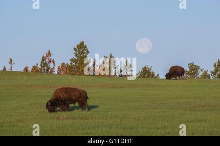 Amerikanische Bisons (Bison Bison) Erwachsene Weiden auf Grasland, Vollmond, South Dakota, westliche USA - Stockfoto