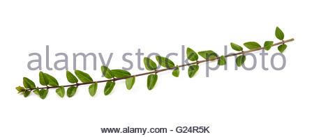 Buchsbaum Zweig isoliert auf weißem Hintergrund - Stockfoto