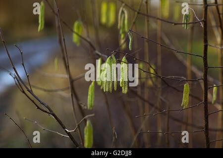 Kätzchen oder zylindrische Blütenstände bestehend aus winzigen unisex männliche Blüten auf einem Haselnuss Baum - Stockfoto