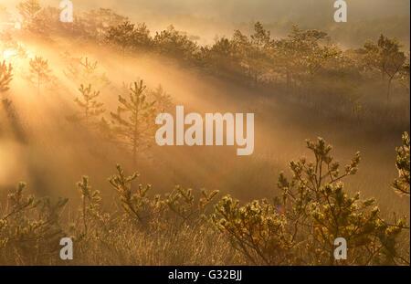 Nebliger Morgen Sonnenstrahlen im Wald zwischen den Bäumen - Stockfoto