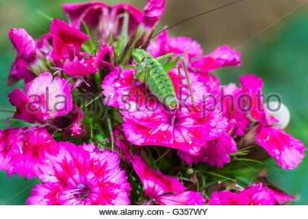 Rote Nelke Blumen mit grünen Heuschrecke auf Makro - Stockfoto