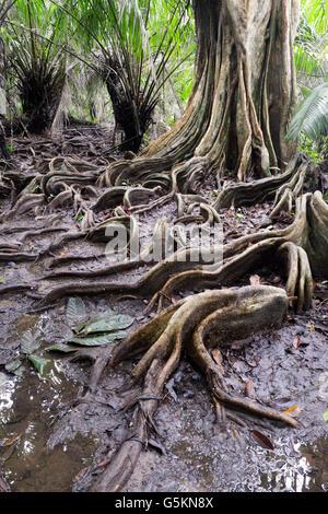 Oberflächlichen Wurzeln, Tieflandregenwald, Corcovado Nationalpark, Costa Rica - Stockfoto