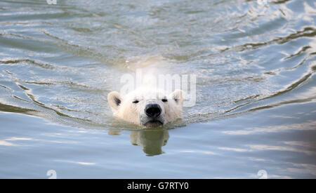 Eisbär kommt in Yorkshire Wildlife Park - Stockfoto
