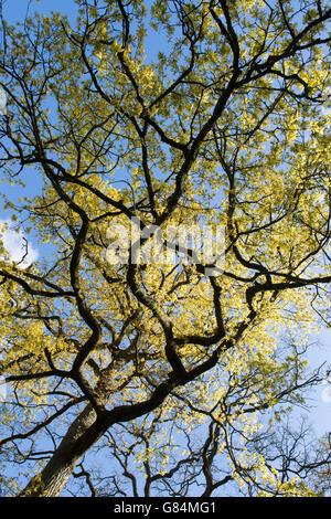 Quercus robur. Eiche Zweige und Blätter gegen den blauen Himmel im frühen Frühling. Großbritannien - Stockfoto