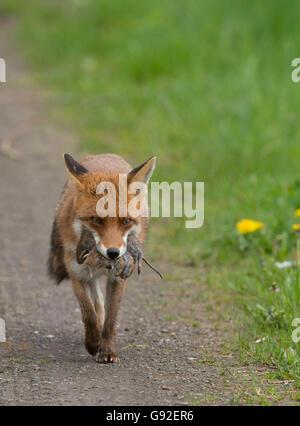 Rotfuchs, tragen Beute / (Vulpes Vulpes) - Stockfoto