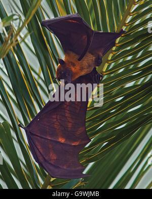 Flying Fox, Pteropus Hypomelanus hängen von Palme auf den Malediven - Stockfoto