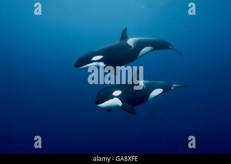Orcas / Schwertwale (Orcinus Orca) Schwimmen im Freiwasser, Three Kings Islands, Neuseeland. Pazifischen Ozean. - Stockfoto