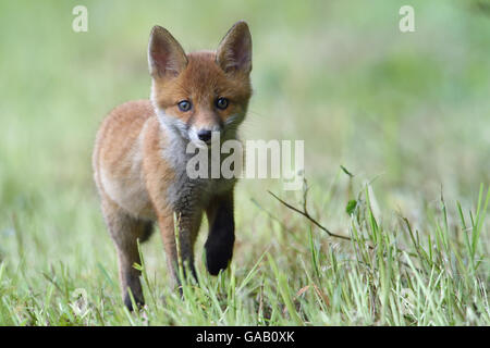 Rotfuchs (Vulpes Vulpes) junges Gras, Wandern, Vogesen, Frankreich, kann. - Stockfoto
