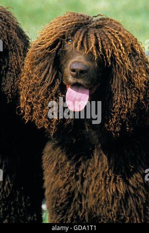 Irish Water Spaniel Hund, Portrait von Erwachsenen mit Zunge heraus - Stockfoto