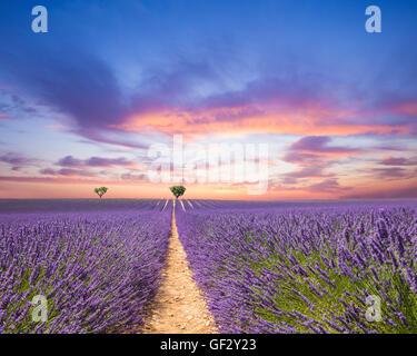Wunderschöne Landschaft des blühenden Lavendel Feld in den Sonnenuntergang, einsamen Bäumen bergauf am Horizont. - Stockfoto