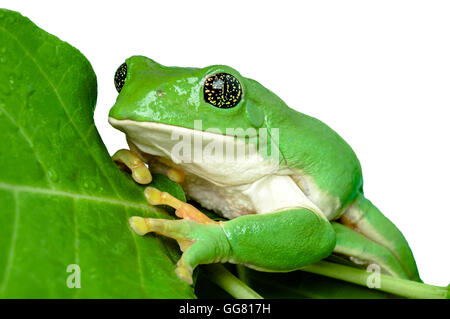Mexikanische Blatt Frosch (Pachymedusa Dacnicolor) mit goldenen Augen, isoliert - Stockfoto