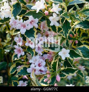 Weigela - 'Florida Variegata' AGM TRS023624 - Stockfoto