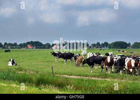 Friesische Landschaft mit Vieh in Friesland, Niederlande. - Stockfoto