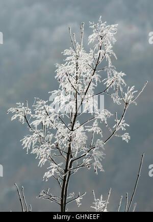 Frost am Strauch östlichen Rhodopen Bulgarien - Stockfoto