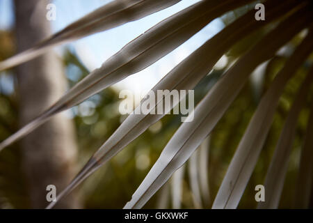 Unterseite der Blätter einer vom Aussterben bedrohten Silber-Palme - Stockfoto