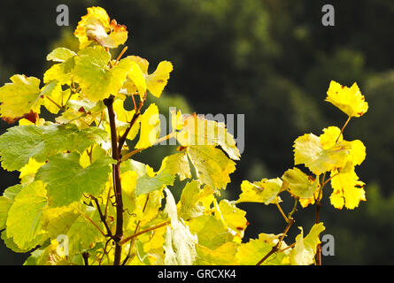 Weinlaub im Herbst - Stockfoto