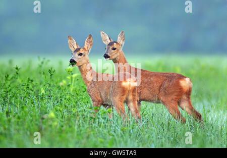 Zwei Rehe jungen in einem Feld - Stockfoto