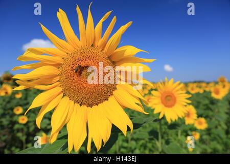Sonnenblume mit einer Biene im Feld, Nahaufnahme - Stockfoto