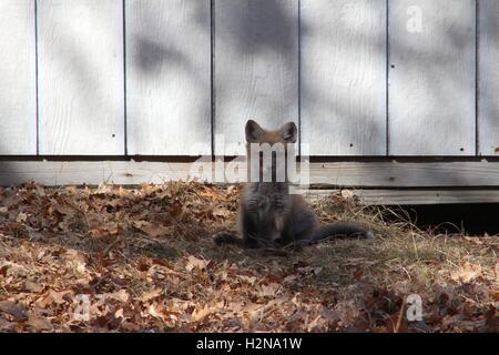 Junger Fuchs Kit sitzt vor seiner Höhle - Stockfoto