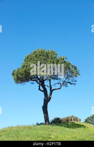 Ein einsamer Baum gegen einen atemberaubenden blauen New Zealand Himmel auf der Coromandel-Halbinsel. - Stockfoto