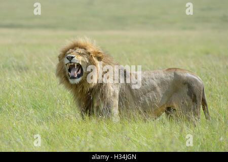 Männlichen afrikanischen Löwen (Panthera Leo) stehend auf Savanne, riechen für Weibchen in Hitze, Masai Mara National - Stockfoto
