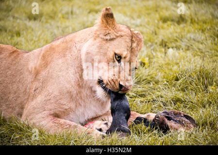 Horizontale Nahaufnahme von einer afrikanischen Löwin Essen einen Zebra-HUF. - Stockfoto