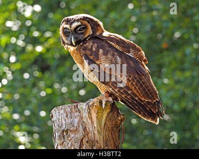 blinken asiatischen braun Holz Eule (Strix Leptogrammica) schneiden Sie hocken auf Baumstamm bei Tageslicht mit - Stockfoto