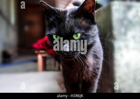 Junge schwarze Katze mit grünen ausdrucksvollen Augen im Innenhof - Stockfoto