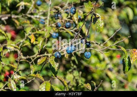 Die Beeren eines Schlehe (Prunus spinosa) - Stockfoto