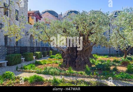 Die Olivenbäume der Garten Getsemani sind Wissenschaft, Jerusalem, Israel zu den ältesten bekannt. - Stockfoto