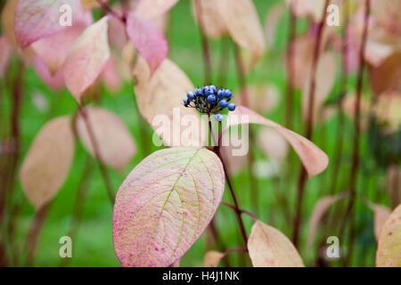 Nahaufnahme der Hartriegel Pflanzen im Herbst mit Beeren - Stockfoto