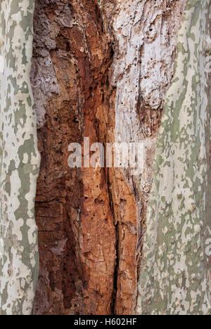 Baumstamm von einer Platane (Platanus), Platane, Holz-Wurm befallen Holz, Baum, Baden-Württemberg - Stockfoto