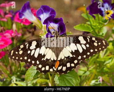 Schwarzen & weißen australischen karierten Schwalbenschwanz Schmetterling Papilio Demoneus Fütterung unter bunten - Stockfoto