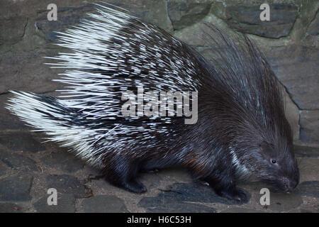 Indische crested Stachelschwein (Hystrix Indica), auch bekannt als das indische Stachelschwein. Tierwelt Tier. - Stockfoto