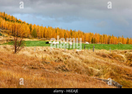 Schafbeweidung im Herbst Landschaft, Ostisland, Nordatlantik, Europa - Stockfoto
