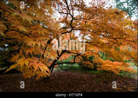 Herbstfarben im Westonbirt, England, Süd-Ost.  Auswahl an warmen Farben aus rot- und Orangetönen durch heller gelb. - Stockfoto