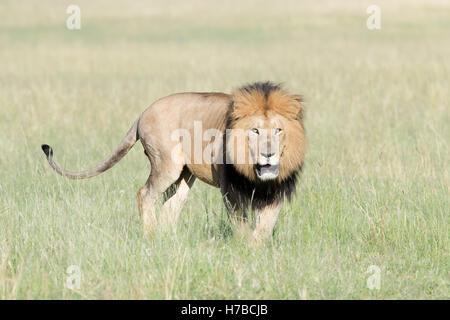 Männlichen afrikanischen Löwen (Panthera Leo) auf Savanne, Blick auf Kamera, Masai Mara National Reserve, Kenia, - Stockfoto