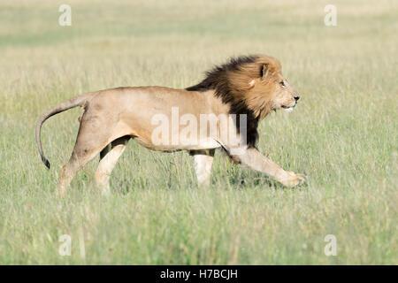 Männlichen afrikanischen Löwen (Panthera Leo) läuft mit Mähne im Wind auf Savanne, Masai Mara National Reserve, - Stockfoto