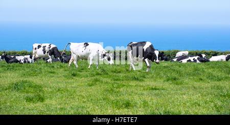 Milchkühe in üppigen Weide in Cornwall, Großbritannien mit blauen Ozean im Hintergrund - Stockfoto