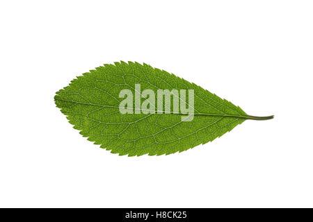 Gewöhnliche Schlehe, Schwarzdorn, Prunus Spinosa, Schlehe, Schlehe, Epine Noire, Prunellier. Blatt, Blätter, Blatt, - Stockfoto
