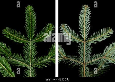 Europäische Tanne Zweig Oberseite auf schwarzem Hintergrund. Laub von Abies Alba, ein immergrüner Nadelwald Baum. - Stockfoto