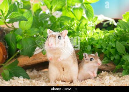 Mongolische Rennmaus (Meriones Unguiculatus). Mutter mit jungen. Deutschland - Stockfoto