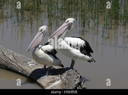 Zwei Pelikane sitzen auf einem Baum melden Sie sich im Wasser, See Guthridge, Fluss und Heritage Trail, Gippsland, - Stockfoto