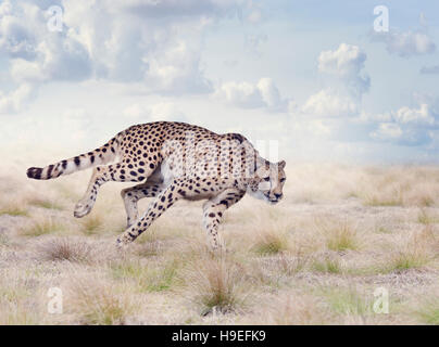 Gepard läuft in die Wiese - Stockfoto