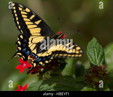 Anis Schwalbenschwanz Papilio Zelicaon, Southern California - Stockfoto