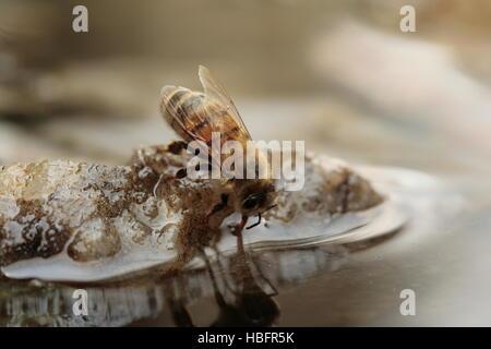 Nahaufnahme der Honigbiene trinken aus Vogelbad - Stockfoto