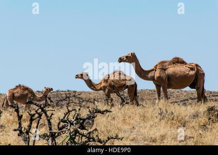 Tierwelt Camel Essen Landschaft in Oman Salalah Arabisch 11 - Stockfoto