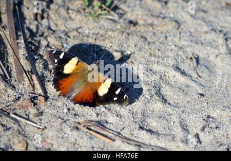 Australische gelbe Admiral Schmetterling, Vanessa Itea, wirft einen Schatten auf dem Boden in den Royal National - Stockfoto