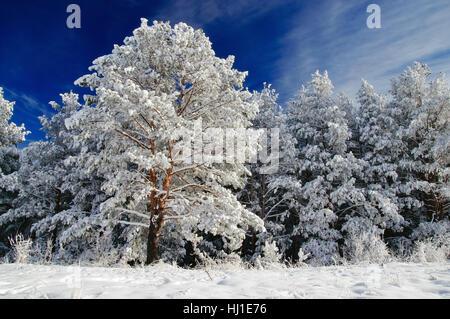Winter weiß gefroren Pinien in Schnee und Rauhreif auf dem Hintergrund der strahlend blaue Himmel Altai Gebirge, - Stockfoto